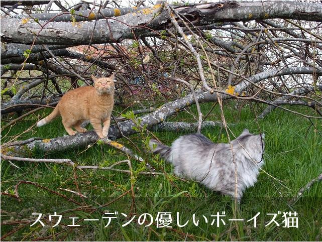 スウェーデンの優しいボーイズ猫